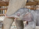 Baby elephant born in January in Baan Chang Thai Elephant Camp