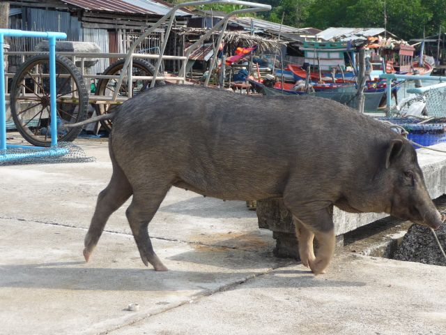 A pig on Salakkok pier in February