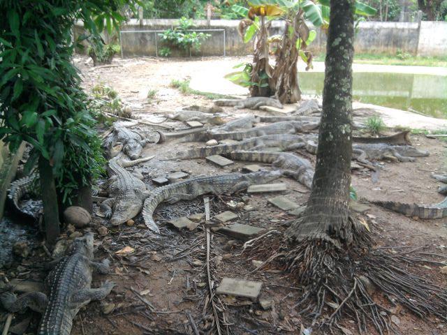 The crocodiles in Kai Bae Hut resort keep breeding, July.