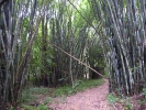 In october I found a bamboo forest near Salakphet