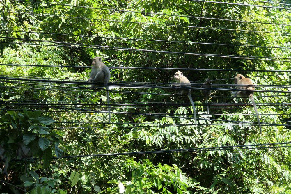 Roadside macaques