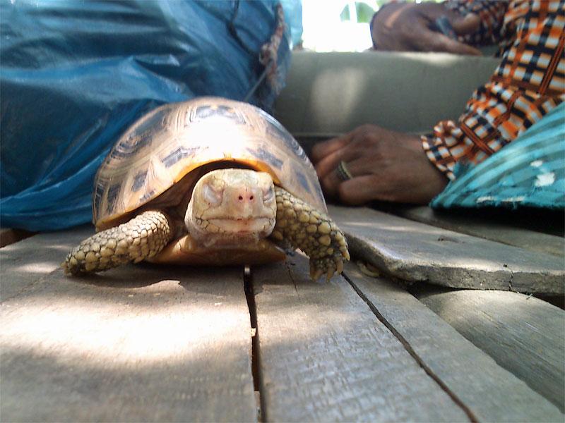 Someone\'s pet tortoise