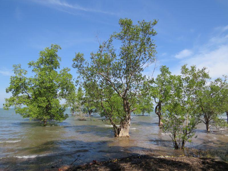 No beach just mangroves by the sea