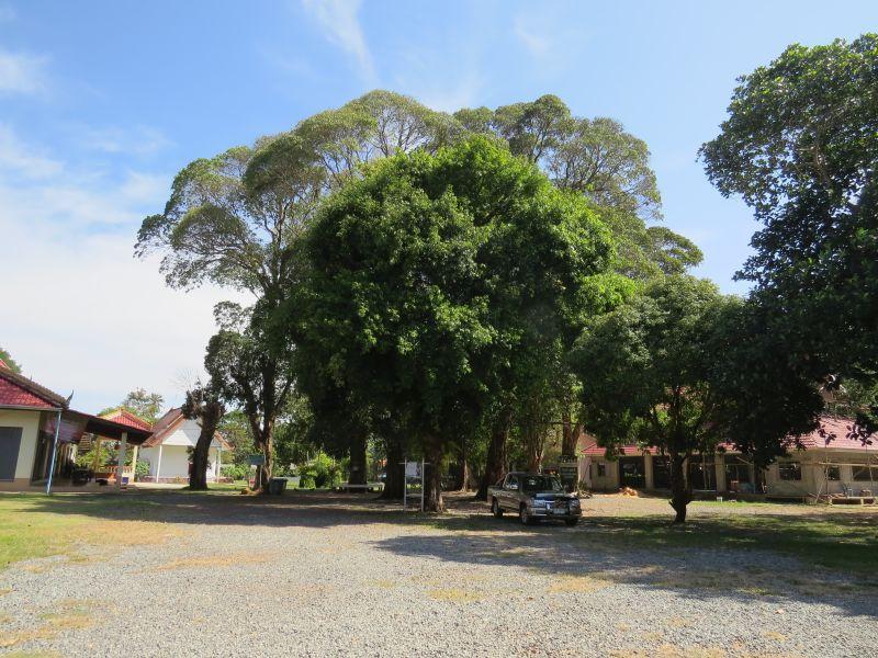 200 year old Lychee tree - originally from China