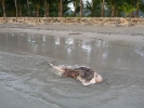 dead-dolphin-koh-chang-04