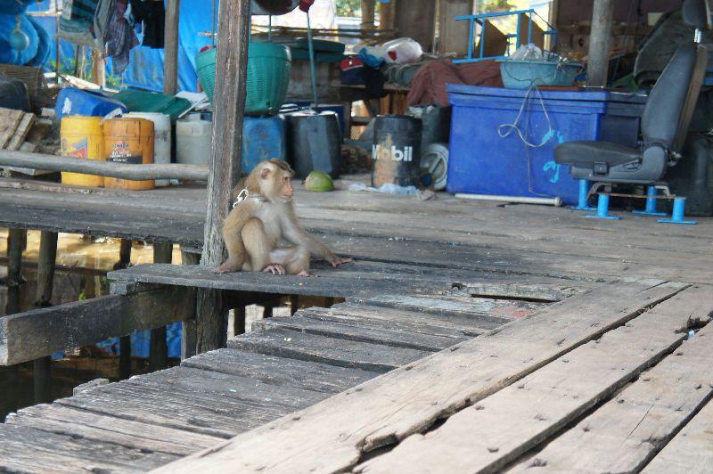 Salakphet monkey