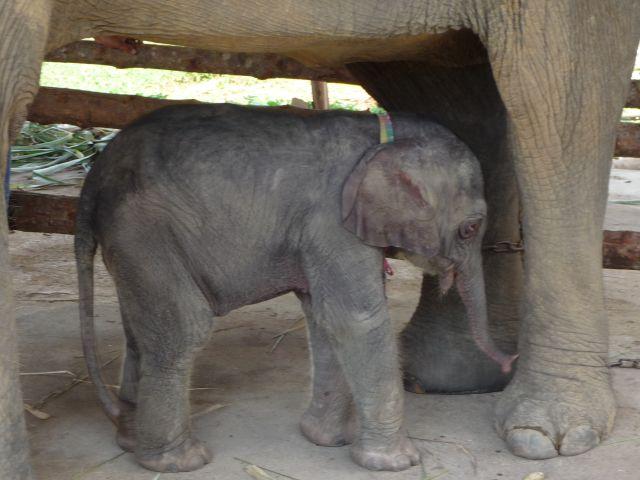 baby-elephant-jan2010-09