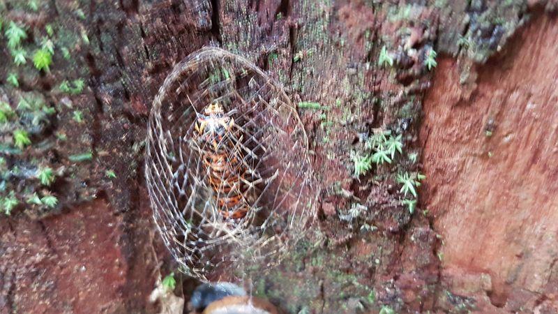 Caterpillar building a coccoon