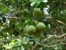 These are pomelos