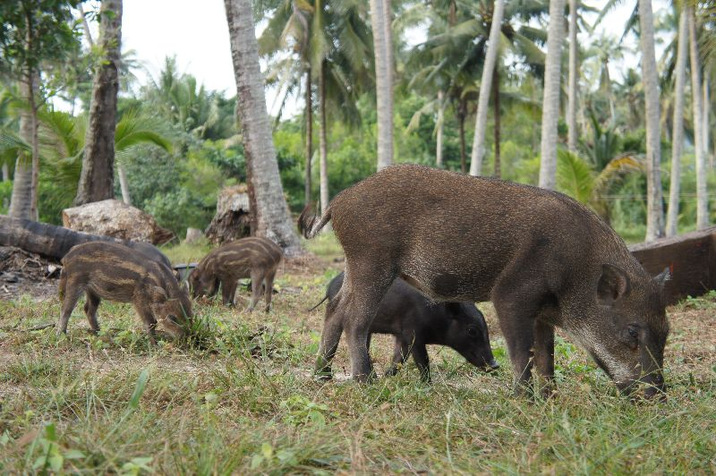 Ao Phrao Beach wild pigs