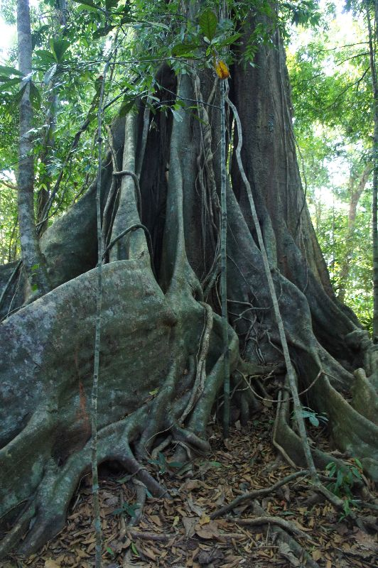 A very big, very old tree in the centre of Koh kood