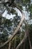 Wierd tree at Khao Rearub