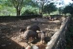 pig farm