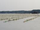 Farming oysters