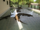Koh Chang Crocodile Show
