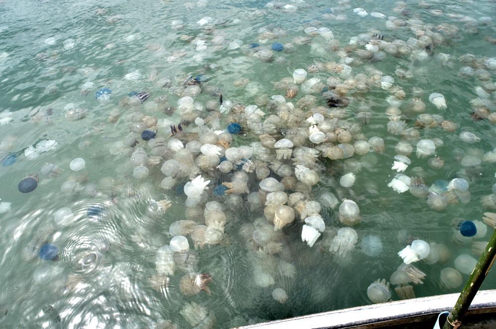 Jellyfish off Trat coast, Thailand