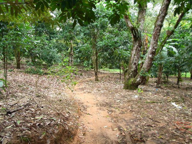 Walking through Longan trees