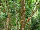 Longan trees