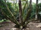 Very odd longan tree