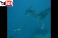 whale-shark-2007
