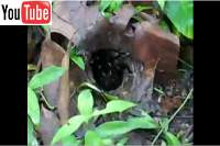 tarantula spider on koh chang island thailand