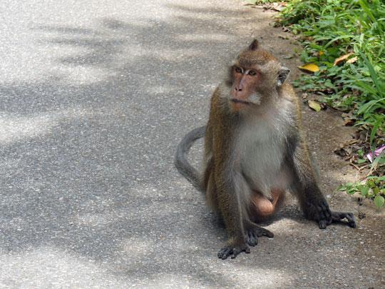 koh chang monkeys