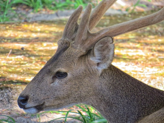 Koh Kradat Deer