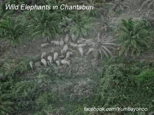 Woild Elephants in Chantaburi