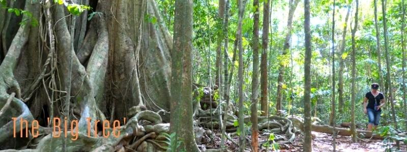 Koh Kood's 500 year old tree