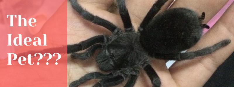 Thailand black tarantula on a person's hand