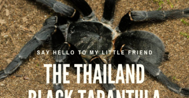 Thailand black tarantula in the wild