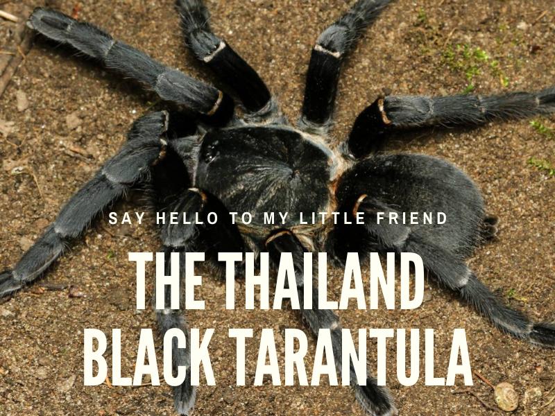Thailand black tarantula in the wild