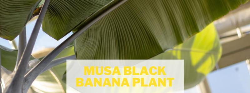 Musa Black Banana Plant