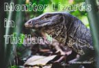 Thailand Monitor Lizards