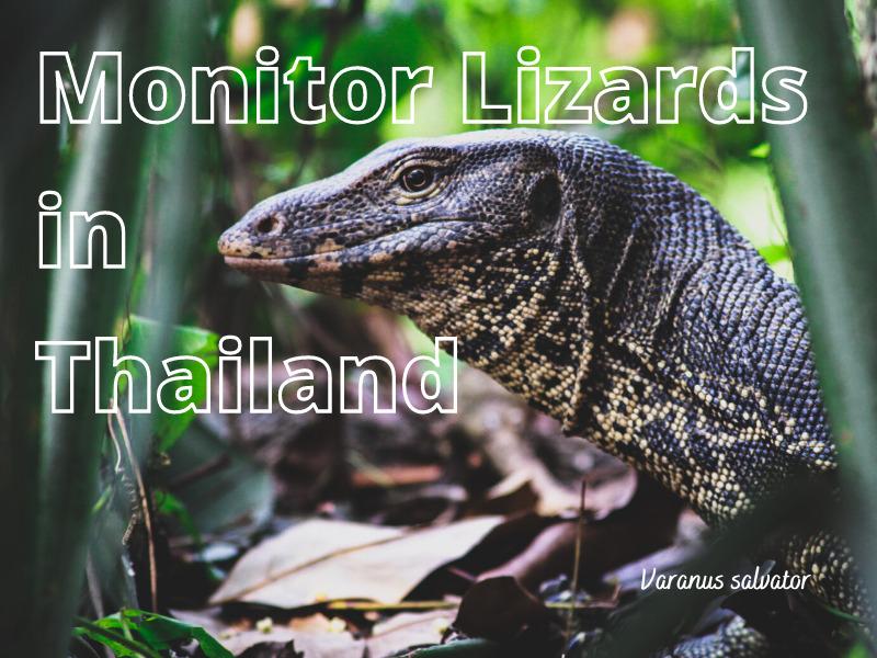 Thailand Monitor Lizards