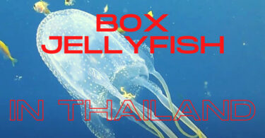 box jellyfish in Thailand