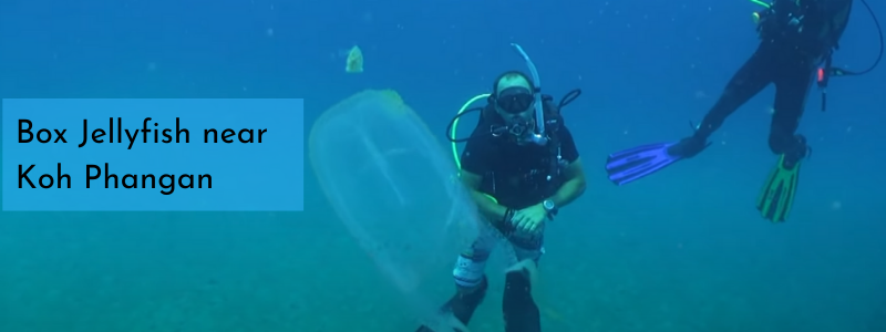 Scuba diving box jellyfish